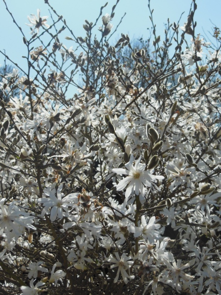 Magnificent magnolia!