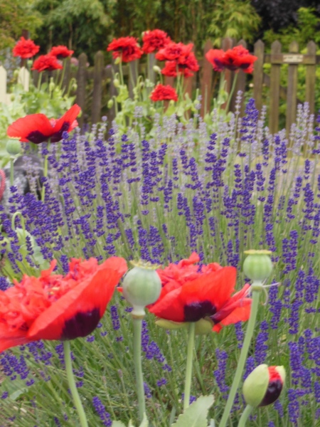 Poppy perfection!