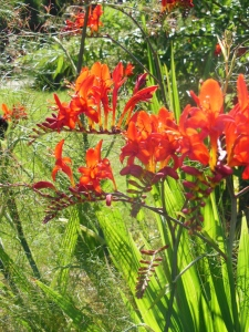 CrocosmiaLucifer